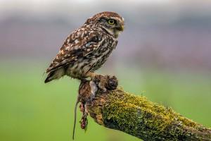 owl with prey_UPI HM nature